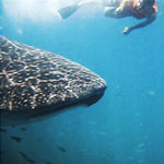 picture of snorkeling with a Whale Shark, Scuba Libre